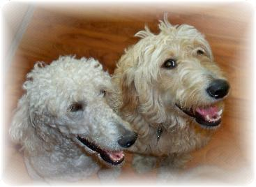 Differences Between Golden Doodles F1 Fb And Sugardoodles