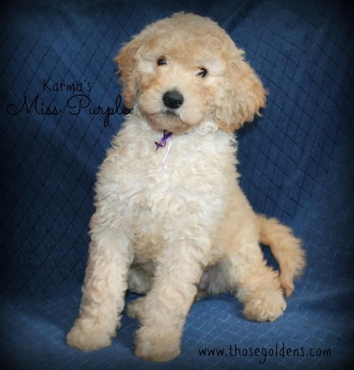 Those Goldens F1b Goldendoodles Karma And Cages Page